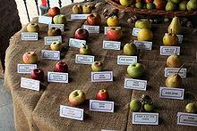 リンゴ・品種