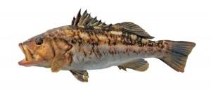 キャリコ・魚