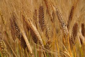 大麦畑・イメージ
