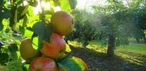 リンゴ・農園イメージ